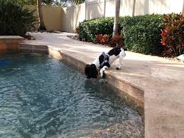 australian shepherd water pool anu the cockapoo