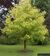 box elder maple tree acer negundo