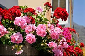 geranien balkon pflegetipps für ihre geranien und weitere nützliche infos