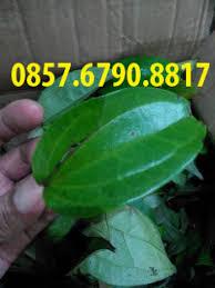 jual obat herbal daun bungkus papua murah daun bungkus tiga jari