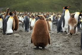 king penguin pictures and facts