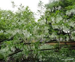 fringe tree snowflower god as a gardener