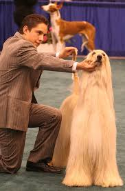 does an afghan hound shed best hypoallergenic dog breeds for allergy sufferers u2013 amazing doggies
