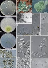european species of hypocrea part i the green spored species