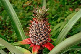 plants native to brazil pineapple wikipedia