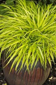 best ornamental grasses for containers ornamental grasses house