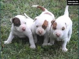 american pitbull a terrier dogs picture collection of puppy terrier american pit bull youtube