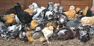 Best Backyard Chicken Breeds by Chicken Breeds Characteristics With Raising Backyard Chickens