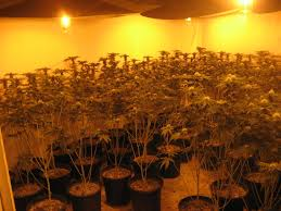 600 pot plants found growing inside baldwin park house crime scene