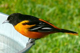 state bird improvements replace cardinals and robins with