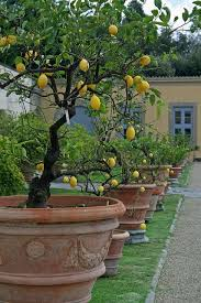 Italian Garden Ideas Potted Lemon Trees Villa Medici Di Tuscany Italy