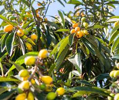 edible ornamentals abbotsbury subtropical gardens