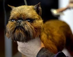 australian shepherd 2015 westminster 61 best westminster dog show images on pinterest westminster dog