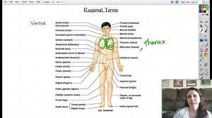 Directional Terms Human Anatomy Anatomical Terms Of The Body Human Anatomy Terms Anatomical