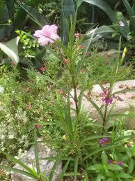 low light common houseplants and best ravenea potted plant majesty
