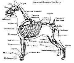Internal Dog Anatomy Anatomy Of A Boxer