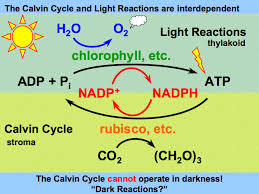 What Happens During The Light Reactions Of Photosynthesis Calvin Cycle