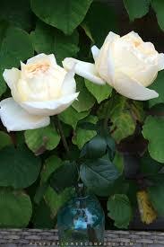 Fragrant Rose Plants Rose Cream Yves Piaget