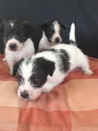 pomeranian x bichon frise sale jack russell x bichon frise puppies in woking surrey gumtree