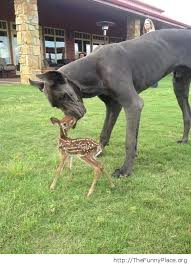 Great Dane Meme - dogs thefunnyplace