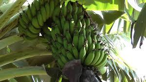 Kula Pumpkin Patch 2014 by Banana Trees Maui Hawaii 1080p On Property Of Kula Country