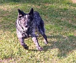 australian shepherd furever asf home in the news