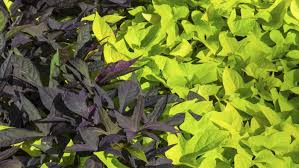 are sweet potato vines perennials reference