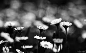 25 Beautiful Black And White by Black U0026 White Daisy Field Crevisio Branding U0026 Photography Agency