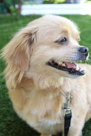 belgian sheepdog houston tx houston tx tibetan spaniel meet ellie a dog for adoption