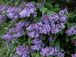 Shrub With Fragrant Purple Flowers - 100 heart shaped leaves with purple flowers ornamental