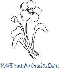 coloring pages poppy flower drawings thumb coloring pages poppy
