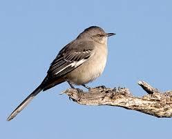 Florida Backyard Birds - the northern mockingbird is the state bird for florida