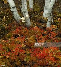 blueberry autumn shrub with white birch tree trunks sudbury