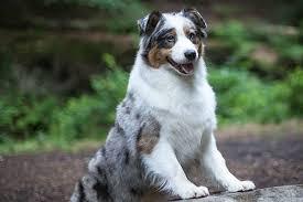4 corners australian shepherd club 7 dog breeds perfect for millennials american kennel club