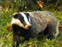 european badger natural history