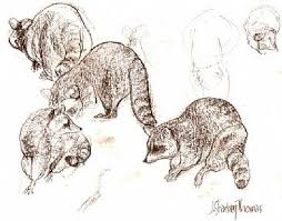 275 best raccoons drawings and paintings of raccoons images on