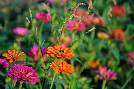 Zinnias Flowers What Is An Annual Flower Or Plant Definition