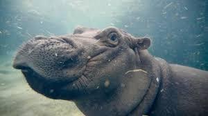 si e social hippopotamus fiona the hippo gives hugs and kisses at cincinnati zoo