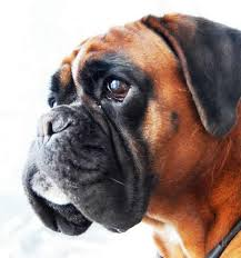 boxer dog shows 2016 study of glioma susceptibility in dogs may yield insights for