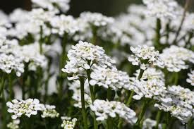 alyssum flowers sweet alyssum white flowers picture free photograph photos