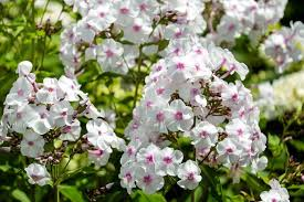 phlox flower phlox planting growing and caring for phlox the farmer s