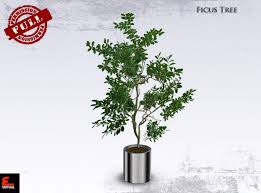 second marketplace perm interior plant ficus tree