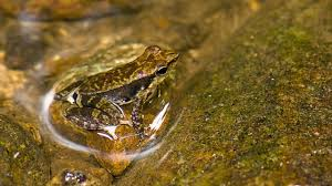 bbc earth these newly discovered frogs have really weird tadpoles