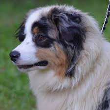 australian shepherd gray akc australian shepherd breeders in north carolina ramblin ridge