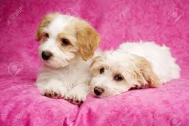 bichon frise x jack russell two sleepy bichon frise cross puppies laid on a pink mottled