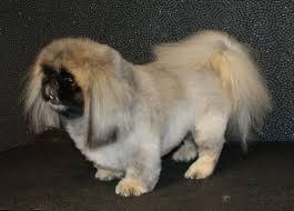 Dog Grooming Styles Haircuts La Pooch Dog Grooming Pomeranian U0026 Pekingese