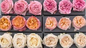 dried roses freeze dried garden roses
