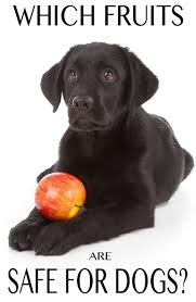 can dogs eat apples and other fruit the labrador site