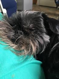 affenpinscher long hair tender heart veterinary care home facebook