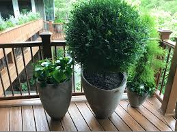 Eugenia Topiary Uncategorized Dirt Simple